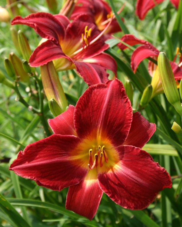 How to plant  Daylilies.~~~~~ pictured: Red Volunteer Daylily (note for foragers: this pin is about planting day lilies, NOT eating them. Be sure to review resources on the edibility of day lilies before eating them...not all varieties are edible)