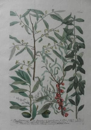 "N.764 Olea Bohemia, Seu Ziziphus Carpadocia   N.764 Olea Bohemia, Seu Ziziphus Carpadocia A wonderfully detailed Mezzotint and line engraving, finished by hand in watercolorby Johann Wilhelm Weinmann from his amazing botanical book ""Phytanthoza Iconographia""published in Amsterdam in 1736 - 1748. Overall this print measures 11.5""x17.5"". Johann Wilhelm Weinmann was an influential pharmacist and botanist, and director of the longest established pharmacy in Regensburg. Weinmann supervise.."