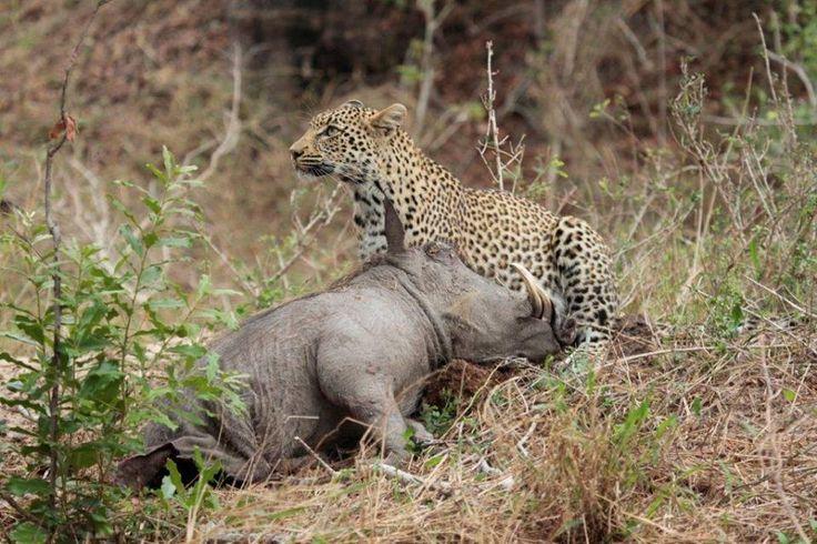 Great #Wildlife Sightings at #JockSafariLodge in November. #Kruger