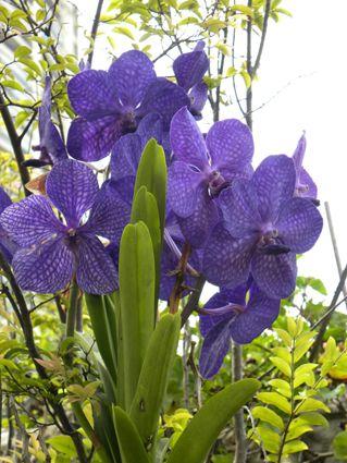 Orquídea vanda.                                                                                                                                                                                 Mais