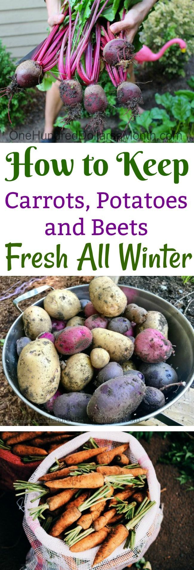 Winter Harvest, How to Store Root Crops, How to Store Beets, How to Store Potato...