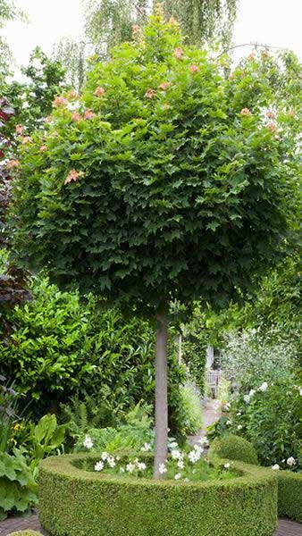 Acer Platanoides Globosum Or Mop Head Maple Tree For Sale Uk Klon