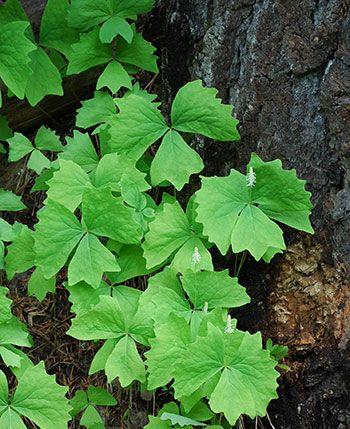 Achlys triphylla - Vanilla leaf