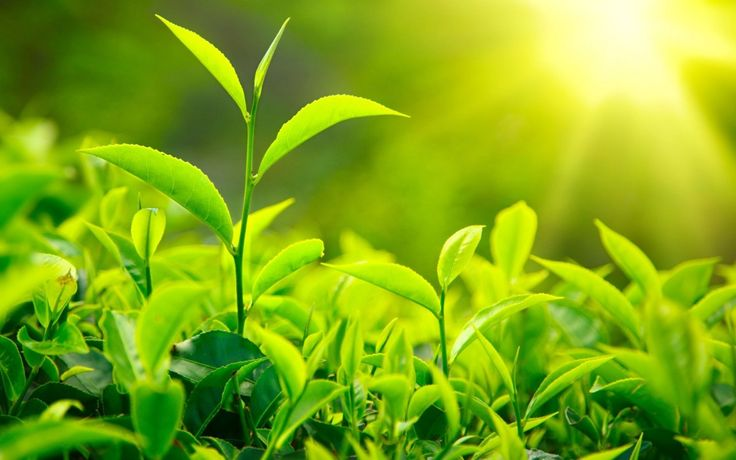 It's surprising to people who are new comers to tea, to learn that both green tea and black tea originate from the same plant, Camellia Sinensis. So what is green tea? It comes down to how the leav…
