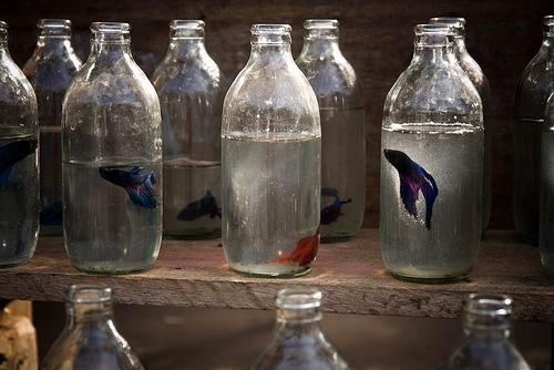 Beta fish in Luang Prabang: Fish Tanks, Fish Photography, Bottle Fish, Cute Ideas, Betta Splenden, Beta Fish, Milk Bottle, Bottle Betta, Beta Bottle