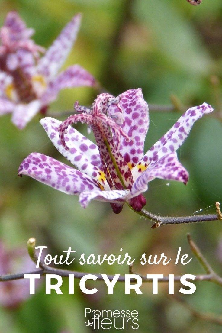 Tricyrtis, Lys crapaud : plantation, culture, entretien | Цветы ...