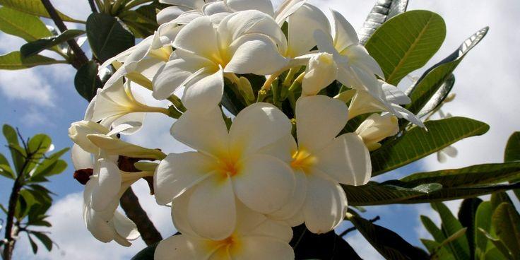 Cara Paling Ampuh Menghilangkan Tahi Lalat Secara Alami Tanpa Efek Samping Dengan Getah Bunga Kamboja