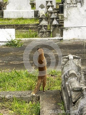 A close-up view of a small Yellow Mongoose keeping watch for predators in an old graveyard.