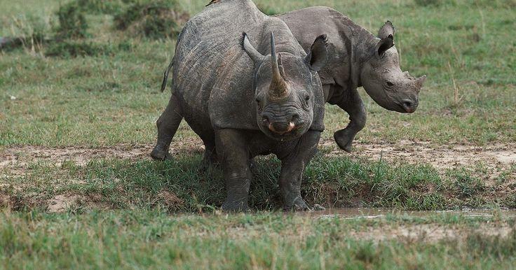 Quanto vale o marfim de um rinoceronte-negro?. Pesando entre 800 e 1.400 kg e com 1,5-2 metros de altura, o rinoceronte-negro é uma criatura formidável. Apesar do tamanho e força desse herbívoro, a caça furtiva pelo marfim negro de seus chifres o colocou na lista de espécies ameaçadas de extinção.