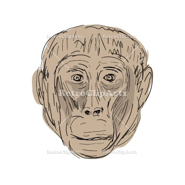 Gelada Monkey Head  Drawing Vector Stock Illustration.  Illustration of a Gelada Monkey Head viewed from front done in hand sketch Drawing style. #illustration   #GeladaMonkeyHead