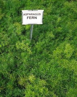 How to Grow Asparagus Ferns