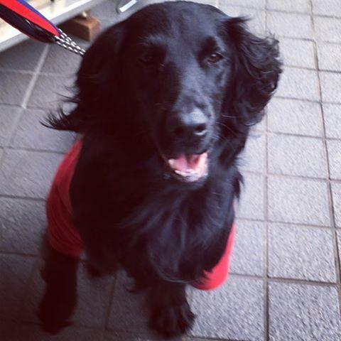 はるばる兵庫県からお越しくださいましたヽ(^ω^)ノ  #dogcafek3  #dogcafe #dogcafekyoto  #ドッグカフェ #ドッグカフェk3  #kyotocafe #京都ドッグカフェ  #京都ドッグカフェk3 #京都カフェ  #愛犬  #わんこ #カフェ  #cafe #看板犬 #愛犬  #いぬばか部 #愛犬と旅行  #京都旅行 #京都カフェ部  #ねこ #そうだ京都行こう  #コーヒー#coffee #コーヒータイム #ラブラドール