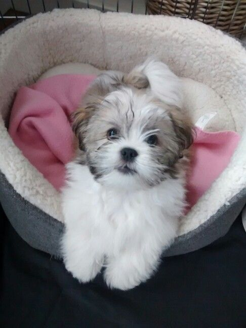 Our little Rosie Dog Lhasa Apso x