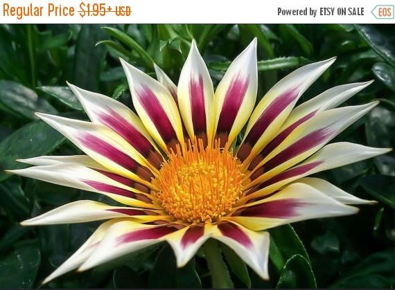 BIG SALE Gazania New Day Rose Stripe -White petals with dark rose stripe flowers - Perfect For Front Border,Containers and Baskets ! by CaribbeanGarden on Etsy https://www.etsy.com/listing/220731763/big-sale-gazania-new-day-rose-stripe