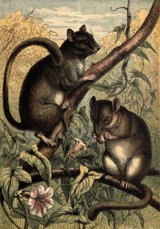 The Dormouse. Plate from 'Tame Animals.' Published 1870 by George Routledge and Sons archive.org