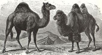 camello-dromedario