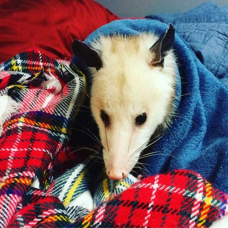 Poppy the Possum