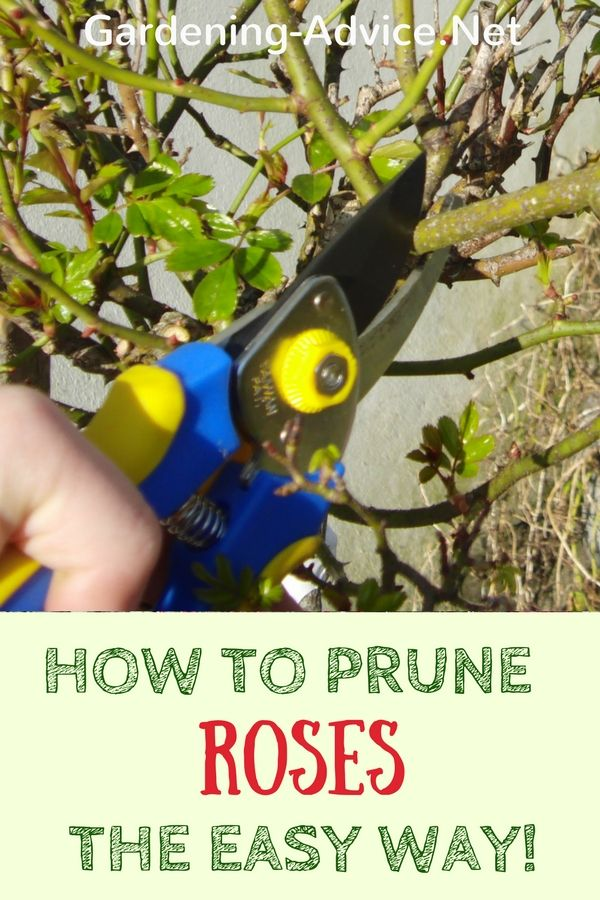 Pruning Rose Bushes is not rocket science! Instructions for pruning, deadheading roses and when to prune roses. Learn how to cut roses for maximum flowers and health.