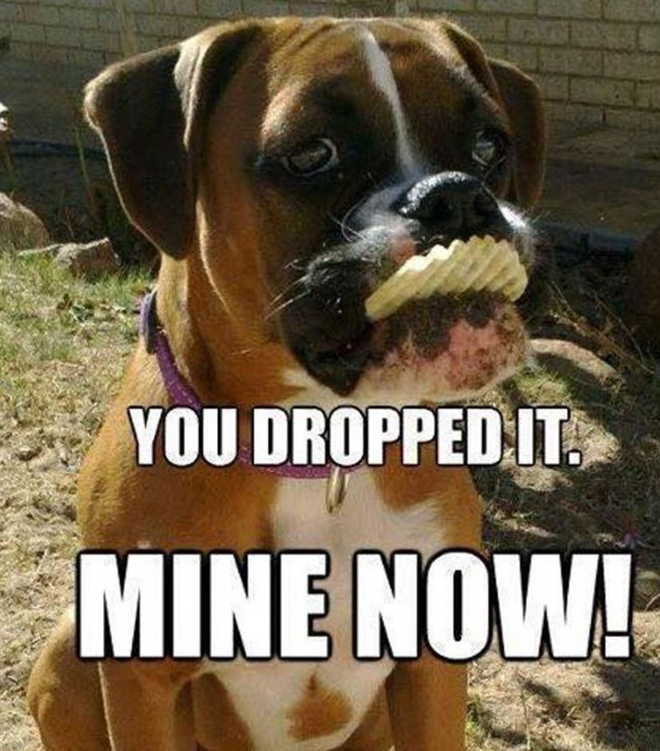 The Many Things I Admire About The Protective Boxer Pups Boxerdogfans Boxerdogtv Whiteboxerdogs Funny Dog Memes Puppies Funny Funny Dogs
