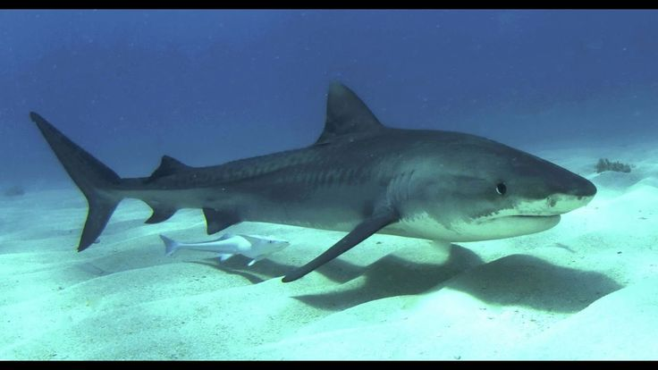 Sharks, Red Sea.Акулы,Красное море .