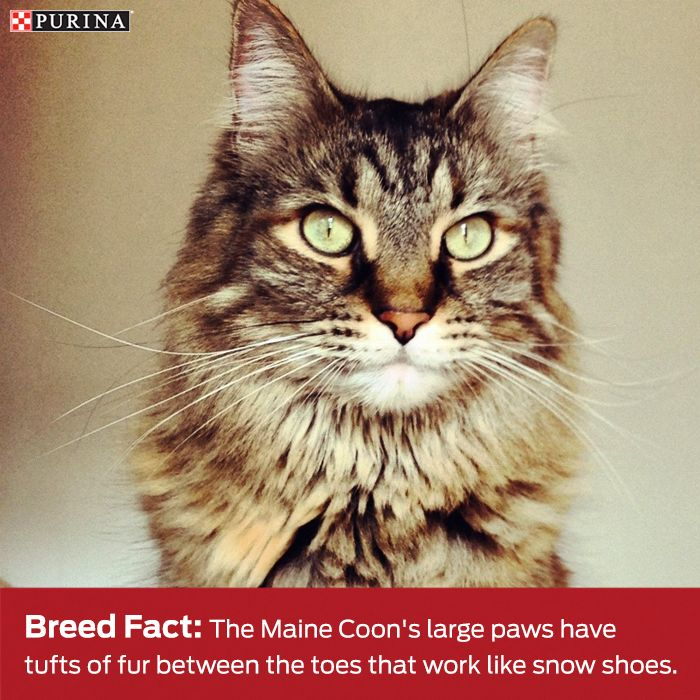 Maine Coon's are an adorable cat breed known for their kitten like attitude and bushy tail. Learn more about this cat breed here.