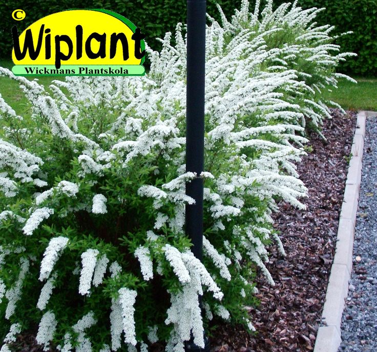 Spiraea cin. 'Grefsheim', Norsk Brudspirea. Hängande grenar fulla med vita blommor i maj-juni som friväxande häck. Passar även som låg klippt häck men blommar då ej. 1-1,5 m.