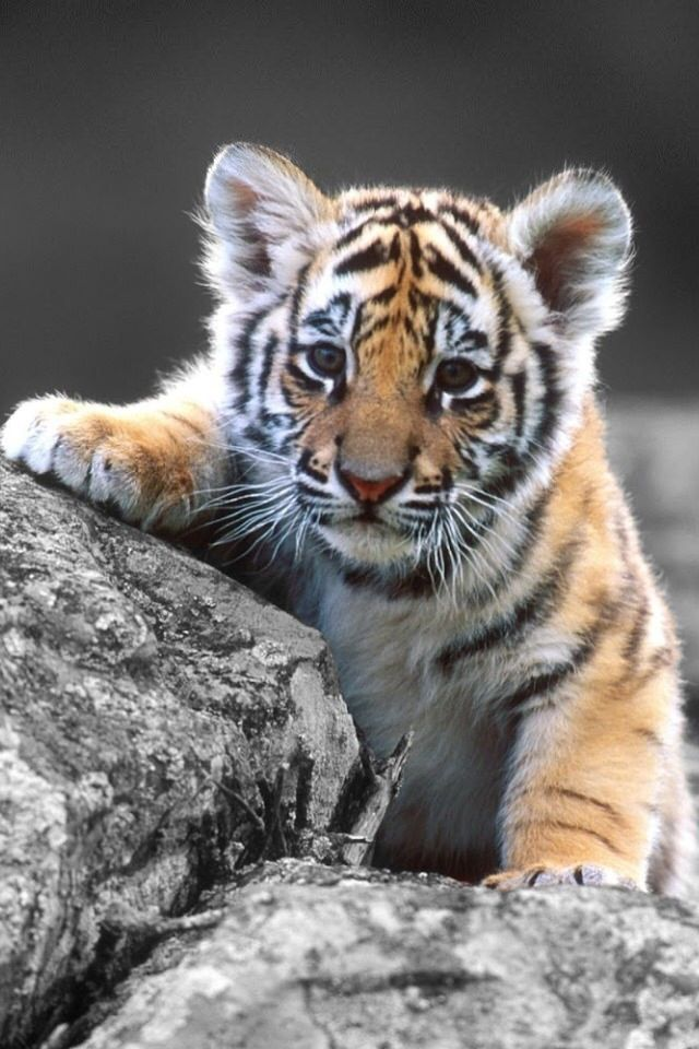 25+ best ideas about Baby tigers on Pinterest