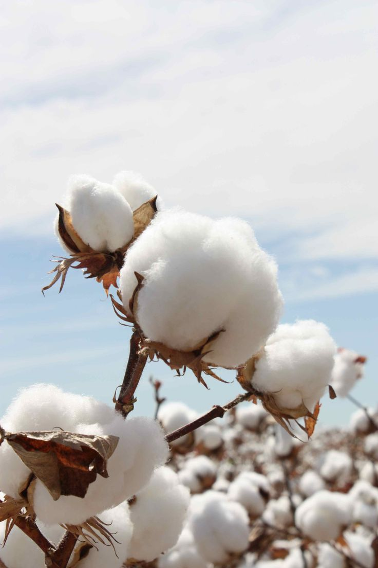 watercolor cotton boll - Google Search