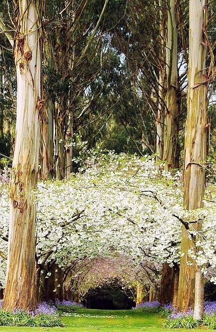 Eucalyptus Forest, New Zealand  @kendall shaffer this is what i imagine for our wedding..<3
