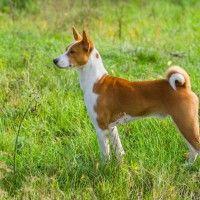 #dogalize Razas de Perros: Basenji caracteristicas y cuidados #dogs #cats #pets