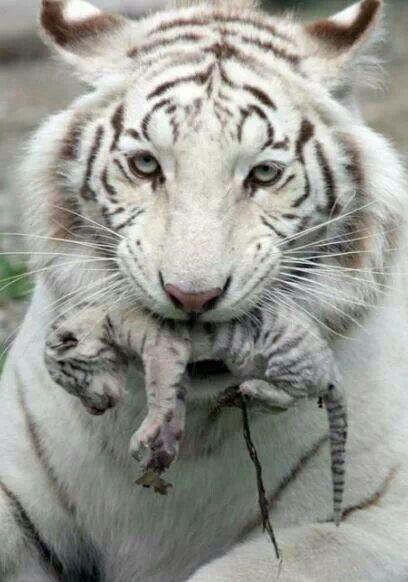 Mama & baby white tigers