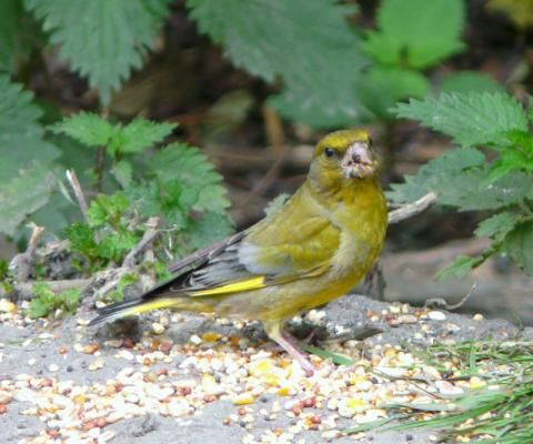 Greenfinch: the poison challice | Nature Notes from Dorset