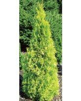25e69ddcf93a679e447d2f0b967c64b9 - Polar Gold Arborvitae (Thuja) Live Evergreen Shru…