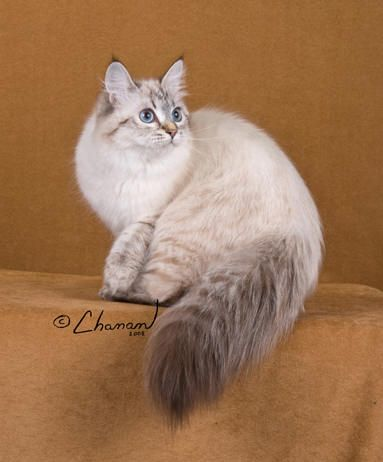 Pictures of Siberian Kittens | Sineglazka Siberian Cats - Our Queen Siberian Cats