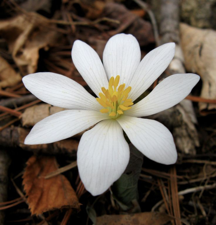 Soon bloodroot (Sanguinaria canadensis) will be blooming in the northeast. Look for one large white blossom, and a stem wrapped in a leaf. As the flower fades, the leaf will enlarge and unfurl to grab energy for next year's blossom. This plant's common and genus name comes from the blood-red juice you'll see if you cut a root.