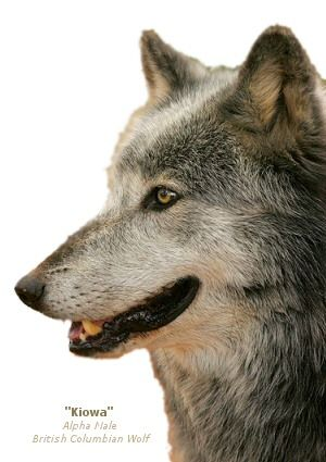 Real live wolves.  They're beautiful!