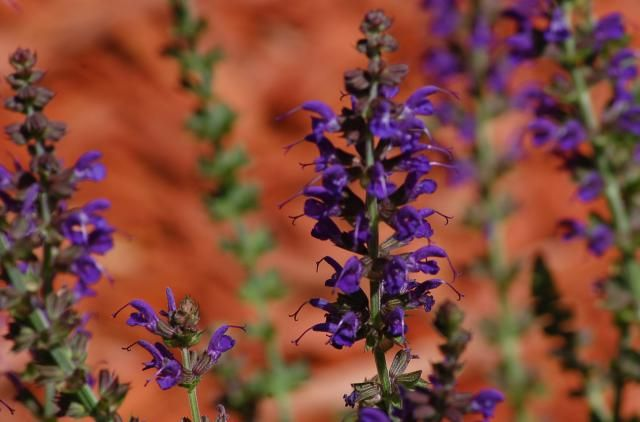 May Night salvia plants are perennials in zones 5-9. The flowers, which bloom throughout the summer with deadheading, are darkly colored.