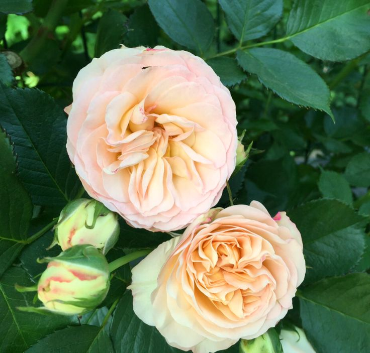 "These light orange rose blossoms may be the perfect way to say ""I'm proud of you""."