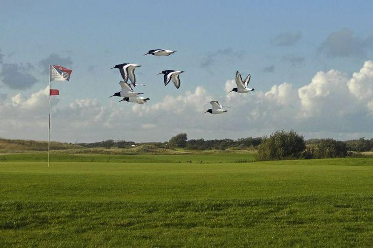 Vele verschillende vogelsoorten op de golfbaan de Texelse