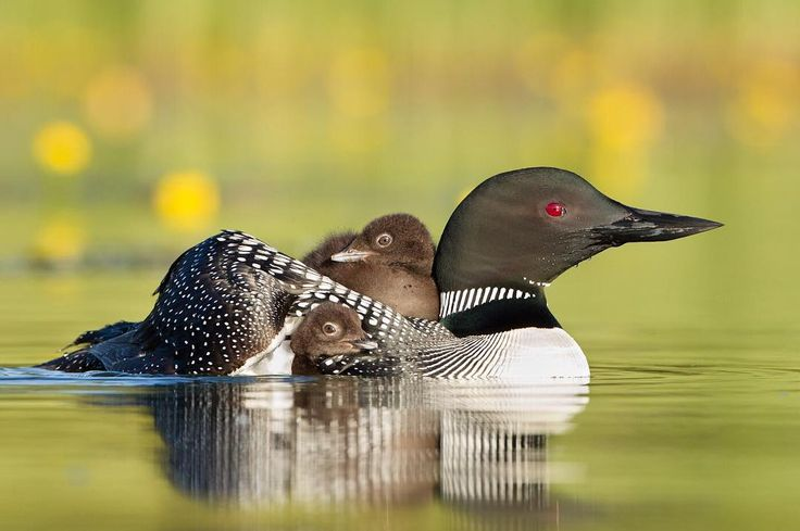 "From @connorstefanison: ""A Common Loon takes her chicks for an early morning ride in a freshwater wetland. Central interior of British Columbia Canada. Common Loon chicks ride on their parent's backs during the first days of life to save energy and for safety."" Connor Stefanison is a professional nature photographer and instructor from Vancouver B.C Canada.  #Canada #naturephotography #birds #loons by discoverychannel"