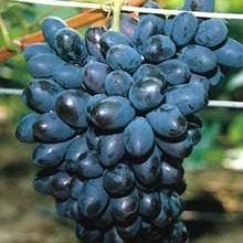 Szőlő (Bioszőlő): Néró Augusztusban érő igen mutatós, sötétkék színű, közepes fürtű szőlő, bogyója hosszúkás, vastagabb héjú, ropogós húsú, kellemes ízű. Teljesen rezisztens fajta, friss fogyasztásra csemegének, szőlőlének és bornak egyaránt kiváló! 1150 Ft