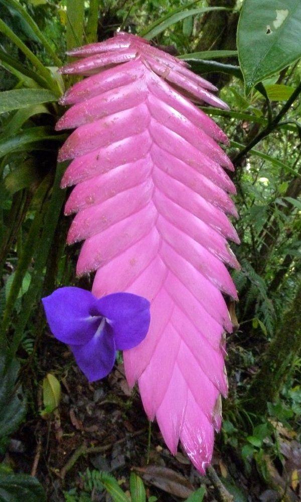 Tillandsia Cyanea Linden Ex K Koch: 1000+ Images About ¸¸ Flower~ Pink Quill ¸¸ On Pinterest