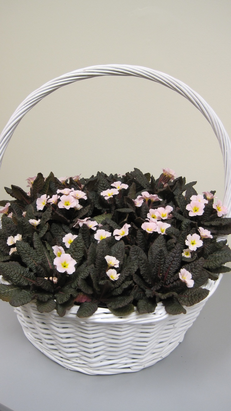 A basket from the Kennedy Irish Primrose collection Primula Drumcliff. This very basket was presented to Mrs Michelle Obama at the White House in Washington DC on St Patricks Day 2011 by Mrs Fionnuala Kenny wife of Irish Taoiseach Mr Enda Kenny on their official State visit. Kennedy Irish Primroses are now available to gardeners all over USA.