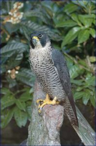 Falco pellegrino   Gli animali, piccoli, grandi, coccoloni, aggressivi, detengono alcuni primati, alcuni per simpatia, ed altri per aggressività, altri ancora per bellezza, ed altri per