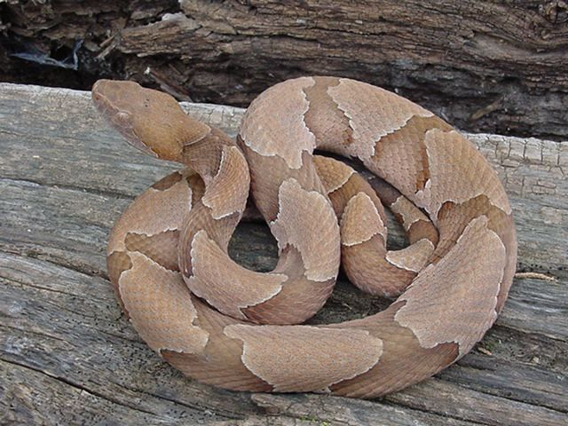 identify poisonous snakes southern - Google Search ...