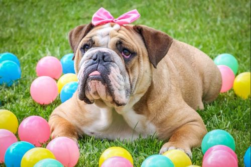 Easter Bunny Pet Photos Dog Easter Basket Bulldog Easter Dog