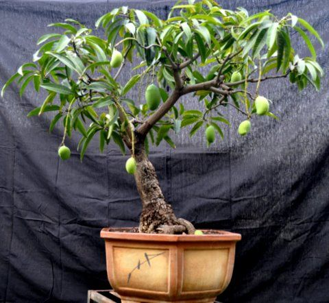 Mango con frutos bonsai
