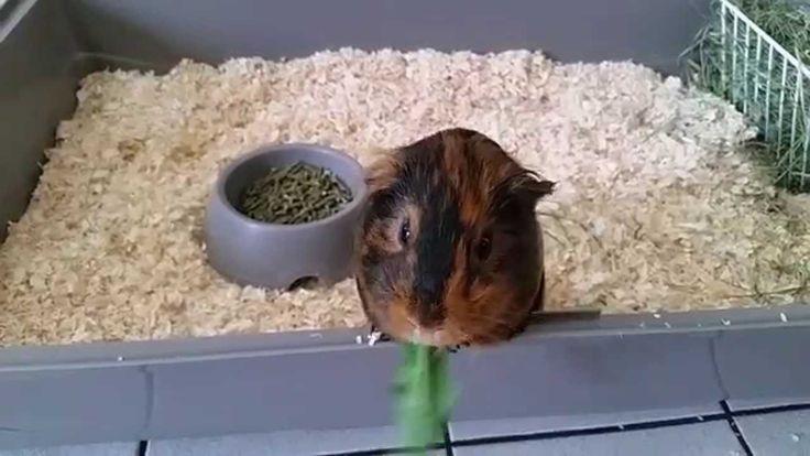 Mon cochon d'inde adore les pissenlits