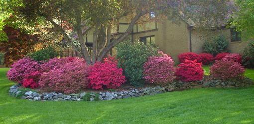 Azalea Shrubs | further information how to plant azalea shrubs in your yard