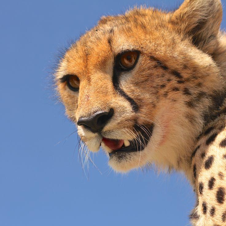 Nærmøte med en Geopard